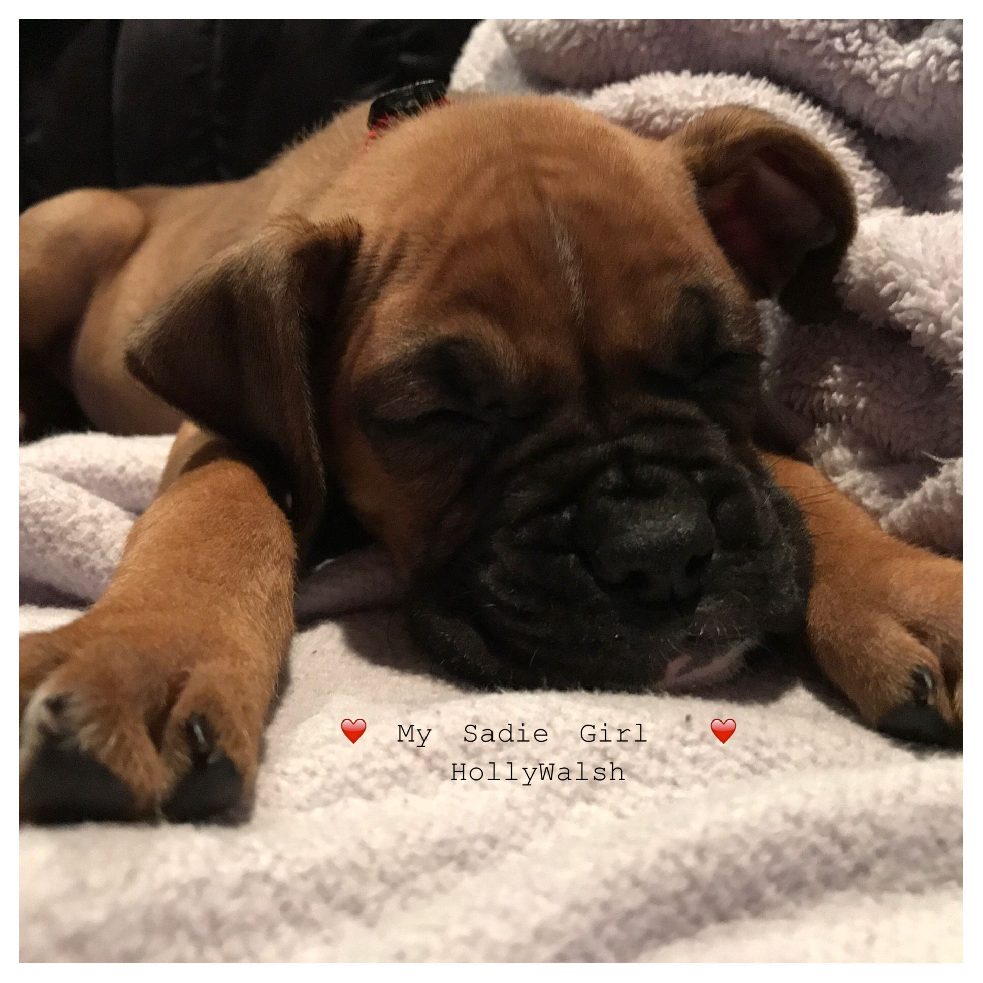 7 week old boxer pup. Lover here to pieces