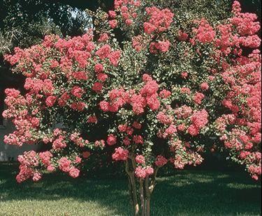 lilas des indes mon beau jardin pinterest lilas des indes les indes et lilas. Black Bedroom Furniture Sets. Home Design Ideas
