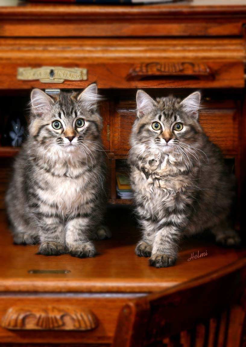 American Bobtail American Bobtail Cat Bobtail Cat Kittens Cutest