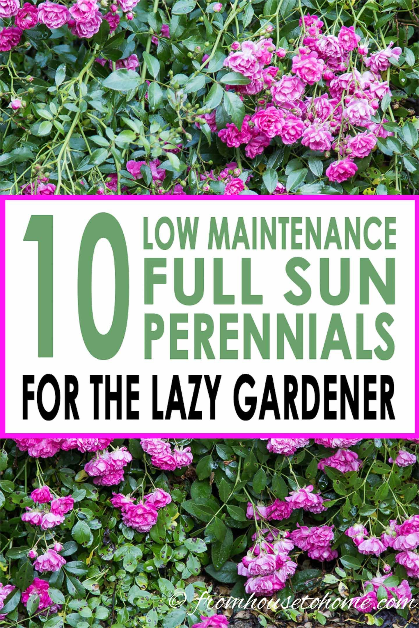 Full Sun Perennials 10 Beautiful Low Maintenance Plants That Thrive In The Sun is part of Full sun perennials, Herb garden design, Sun perennials, Full sun garden, Low maintenance plants, Easy plants to grow - Looking for low maintenance plants with beautiful flowers that will grow well in full sun (even in the South!)  These full sun perennials are perfect!