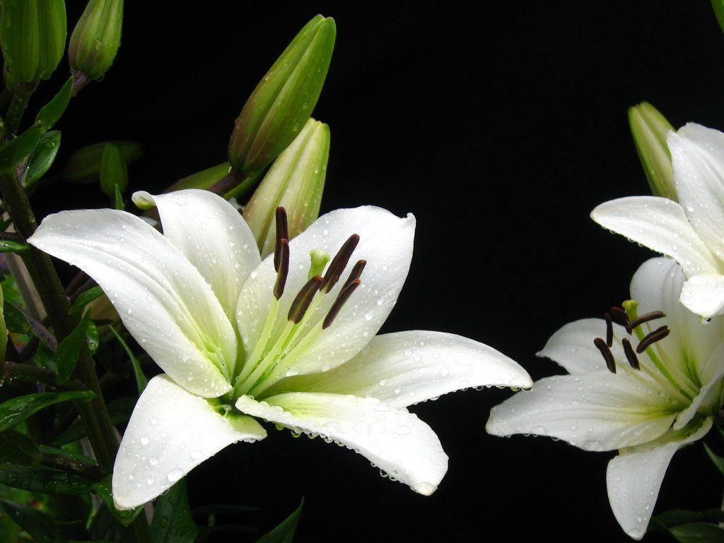 Lily white meanings virginity purity majesty its heavenly white lily the fragrance from the bottle was strong and got right up my nose which i like the strength reminded me of the fragrance of lily flowers dhlflorist Image collections
