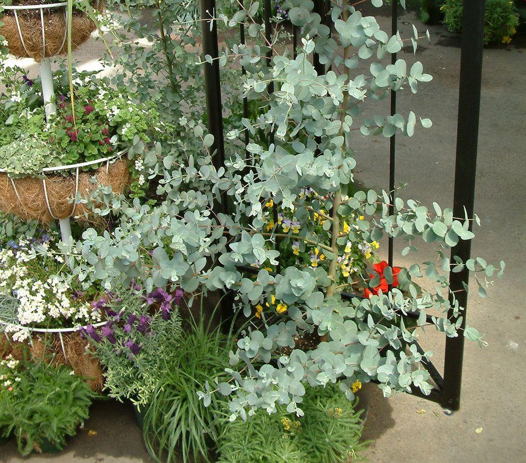 eucalyptus seeds silver drop trailing petunia seeds