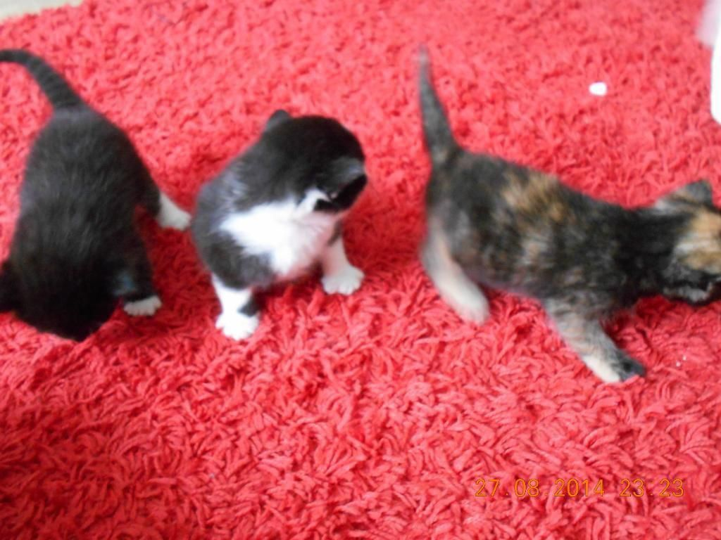 GIRL POWER KITTENS PRICE £ 60 in Dulwich Pets for