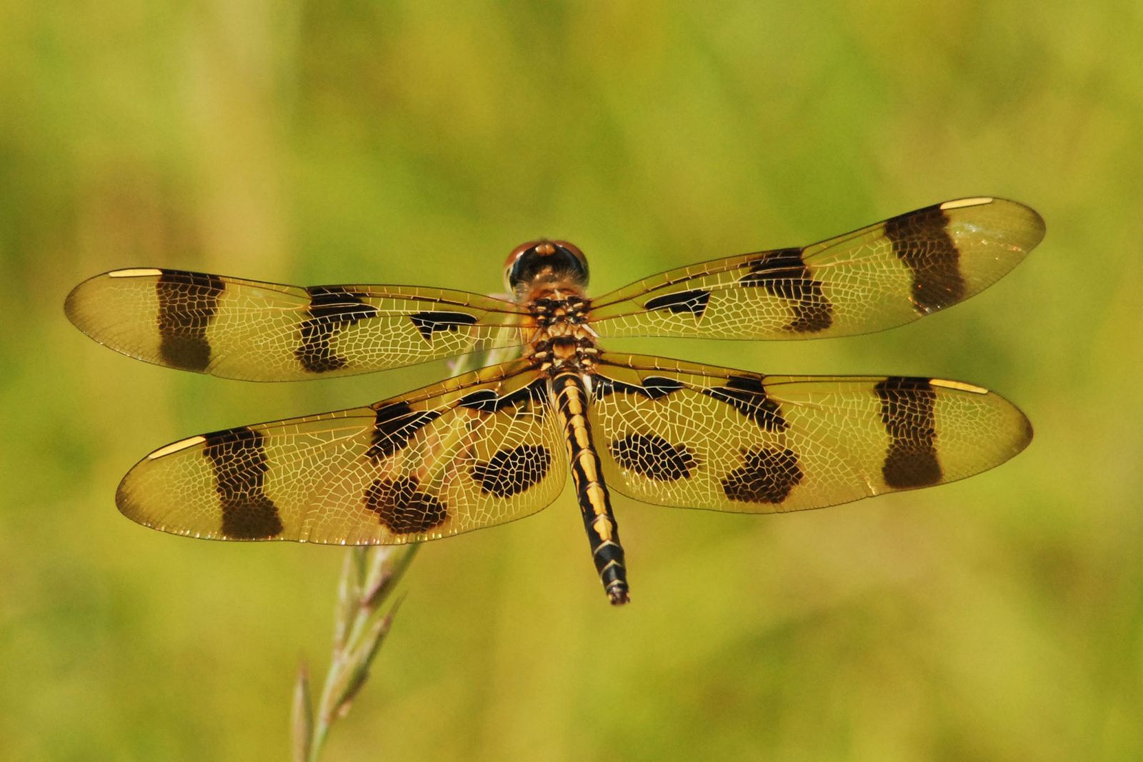 eastern amberwing dragonfly | Dragonflies, Insects and Beautiful ...
