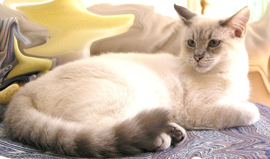 Thai had the Herpes Rhino virus.  Very bad news, but a great little cat with angelic blue eyes.