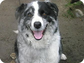 Roy Wa Australian Shepherd Border Collie Mix Meet Scott Aka Scotty A Dog For Adoption Australian Shepherd Pets Border Collie Mix