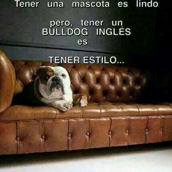 Meme Bull Bulldog Bulldog Ingles Mascotas