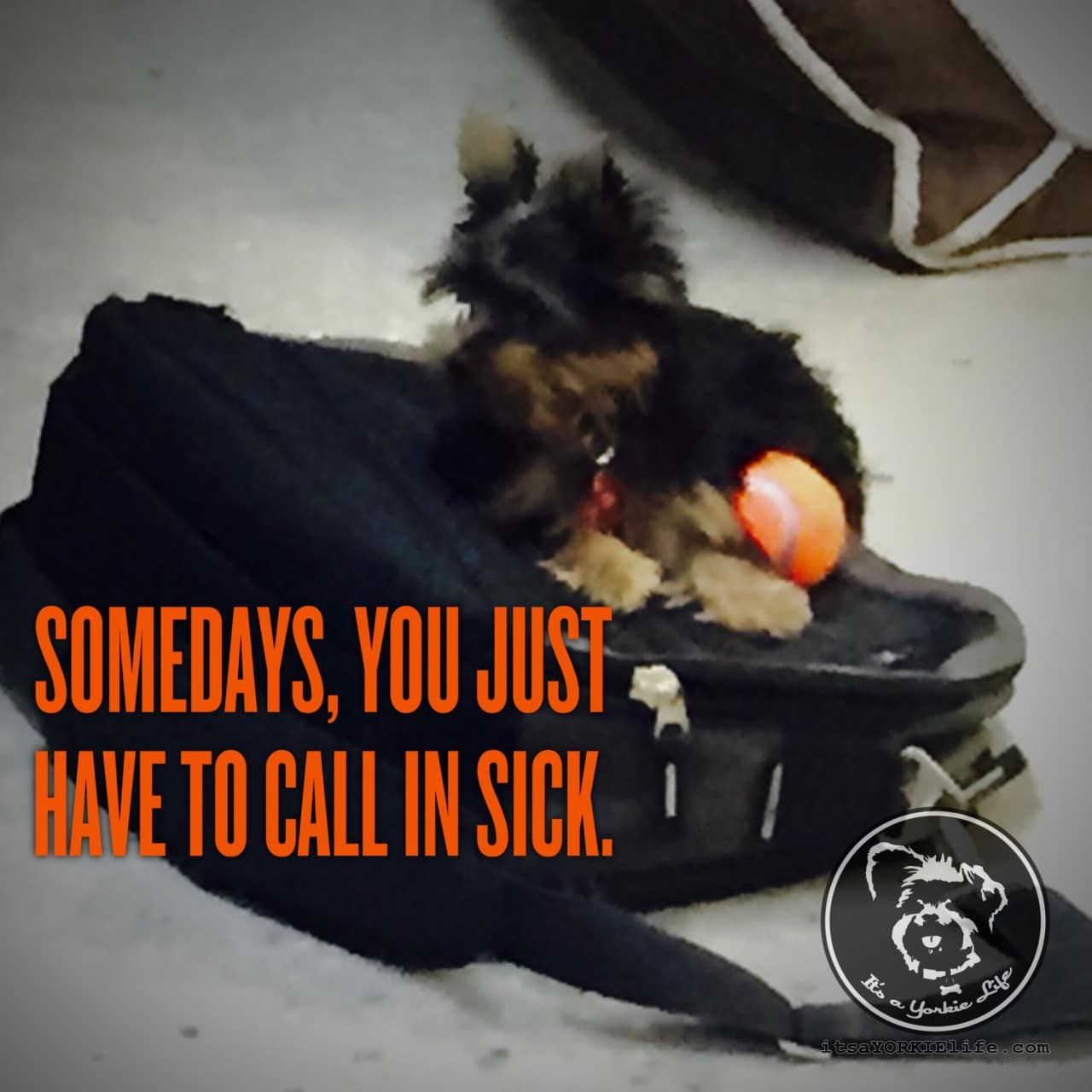 What else can you do when you Yorkie refuses to let you go to work?   Found at: https://itsayorkielife.com/what-else-can-you-do-when-you-yorkie-refuses-to/  #Yorkie,#YorkshireTerrier,#YorkshireTerrierLove,#ItsaYorkieLife