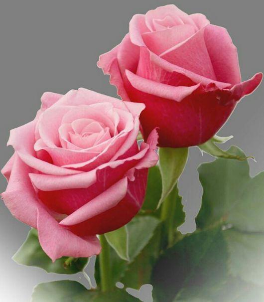 Bir çift gül olsam senle..yüreklerimiz bir atsa.. Seni seviyorum dese..her atışında..sen bana sevda.aşk olsan..