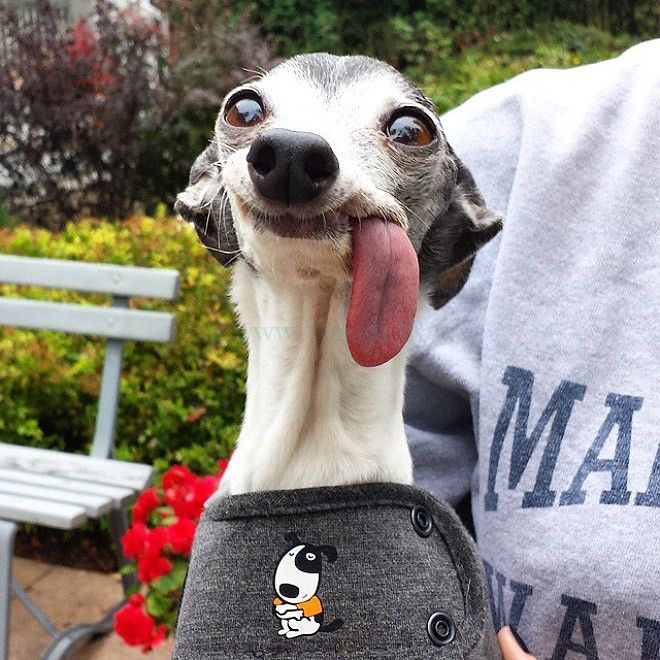 Cute Dog Sticking Its Tongue Out Http Ift Tt 2rxkd5h Funny