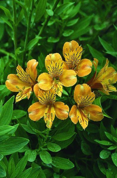 Alstroemeria The Third Harmonic Pollinator Plants Alstroemeria Dry Shade Plants