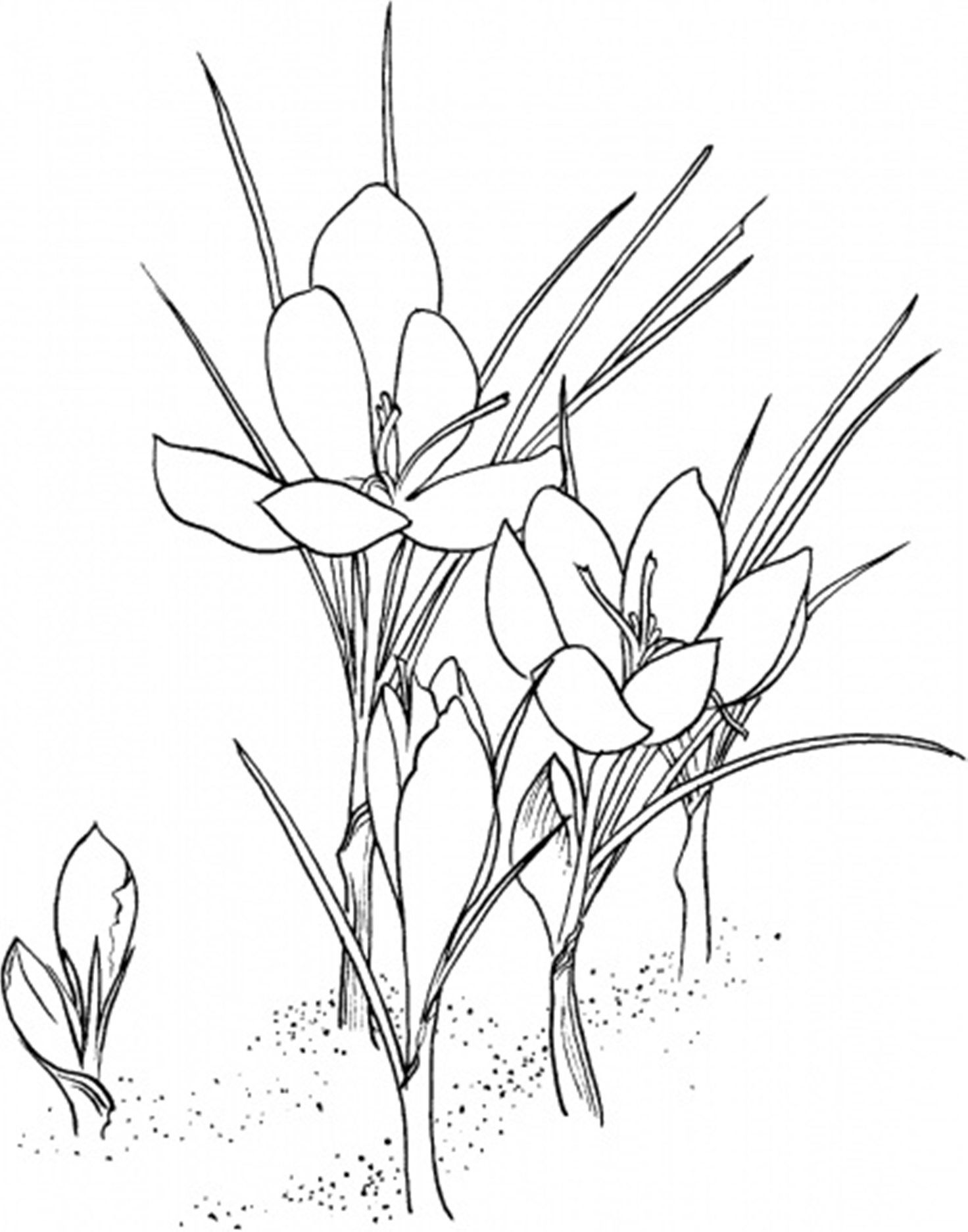 Flower Coloring, Crocus Flower Coloring Page: Crocus Flower Coloring ...