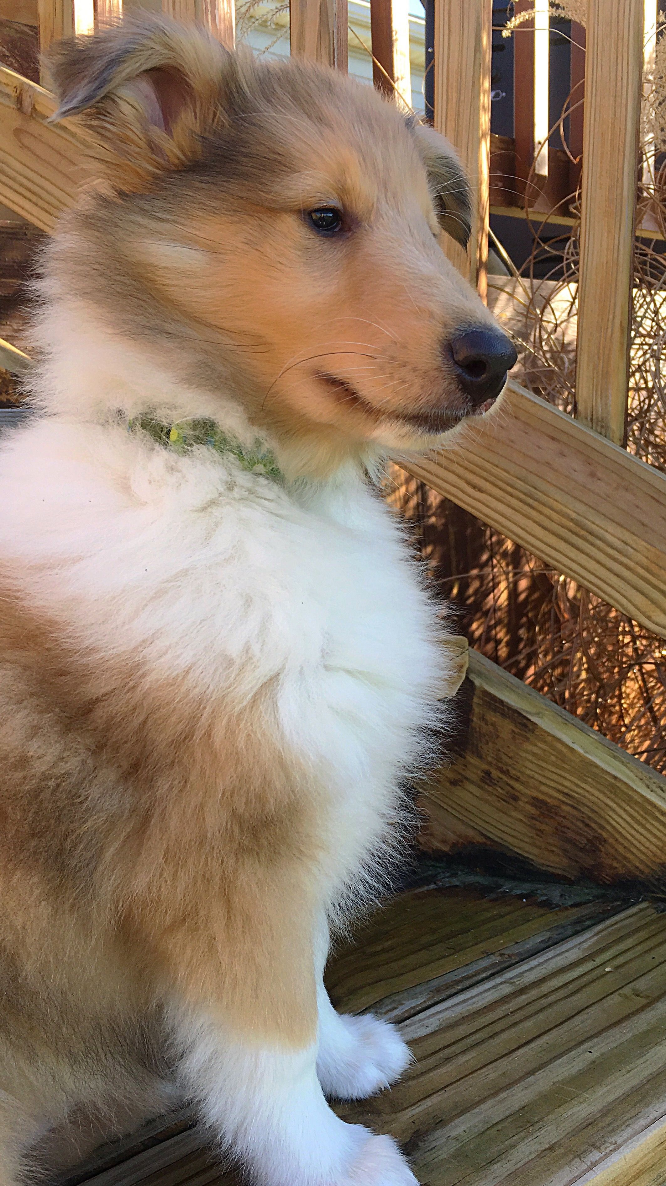 Winnie Sable Merle Rough Collie 2 5 Months Old Rough Collie Sheltie Puppy Beautiful Dogs