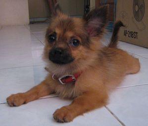 Tibetan Spaniel Chihuahua Mix Cute Dogs Chihuahua Chihuahua Mix