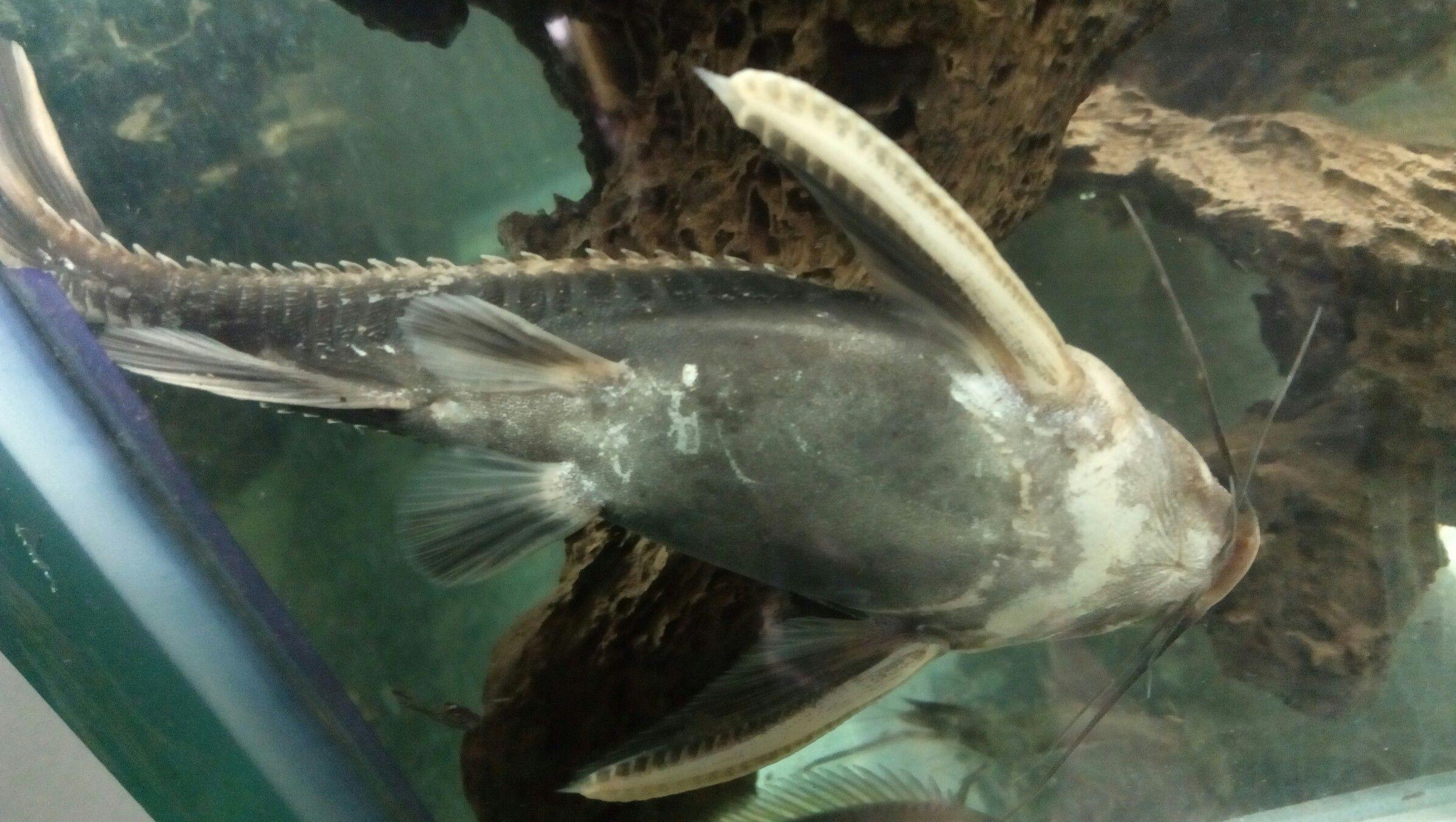 Raphael S Talking Catfish Cool Fish Catfish Fish