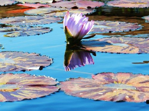 Thanks to Karen Kloke for this photo of a water lily at San Juan Capistrano Mission in California.