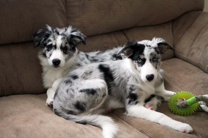 Four Month Old Blue Merle Border Collies Parker And Hope