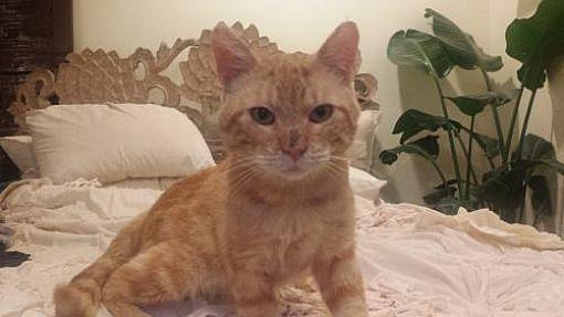 Philadelphia, PA - Domestic Shorthair. Meet Aslan, a cat for adoption. http://www.adoptapet.com/pet/15446809-philadelphia-pennsylvania-cat