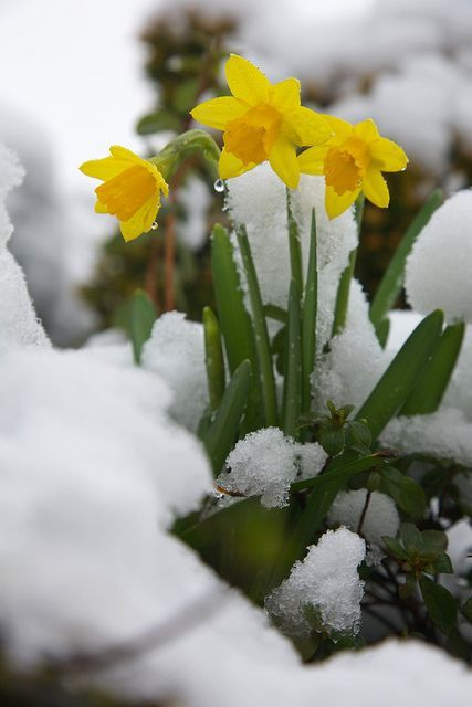 First daffodils in flower with the winter snow | We planted … | Flickr