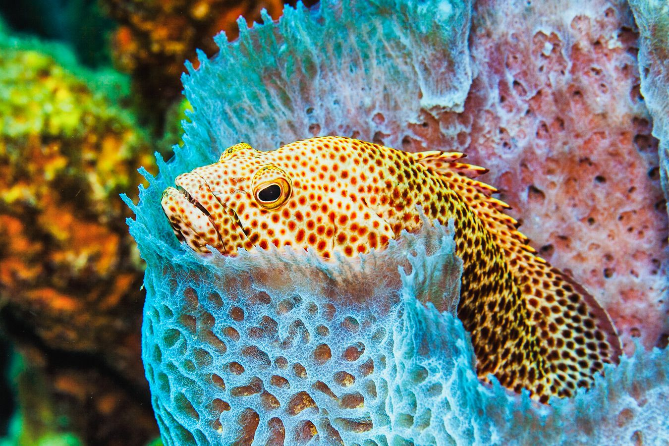 Grouper in a sponge - Turks and Caicos