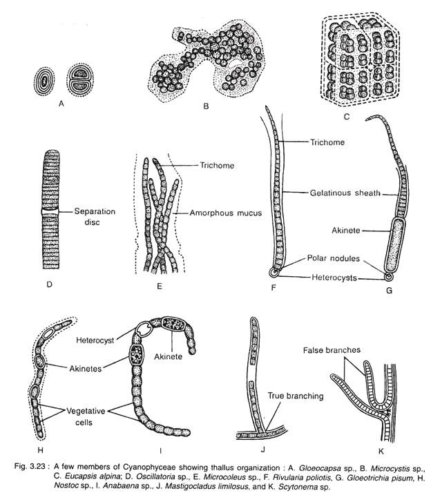 A Few Members of Cyanophyceae Showing Thallus Organization