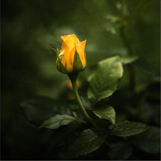 Yellow Roses Background Yellow Roses Background Gelber