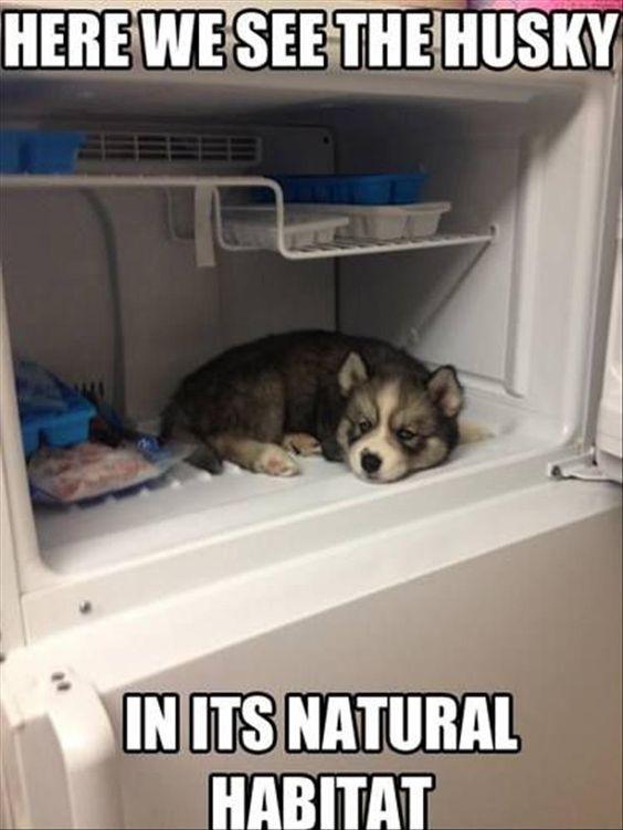 Funny Husky Puppy In The Fridge