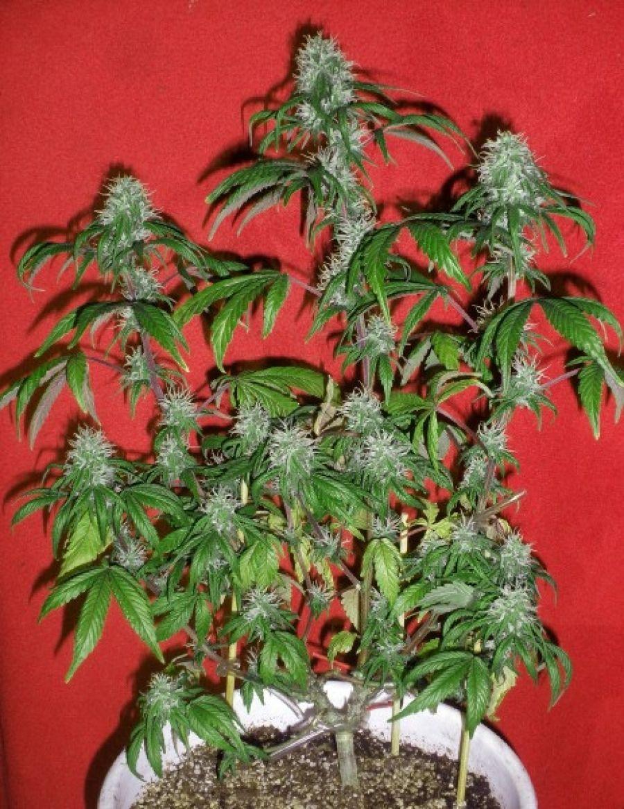 Cómo cultivar marihuana en espacios reducidos - http://growlandia.com/marihuana/como-cultivar-marihuana-en-espacios-reducidos/