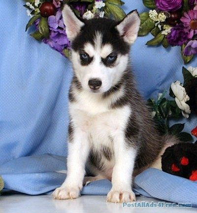 Siberian Husky Puppies For Sale Free Classified Ad Husky