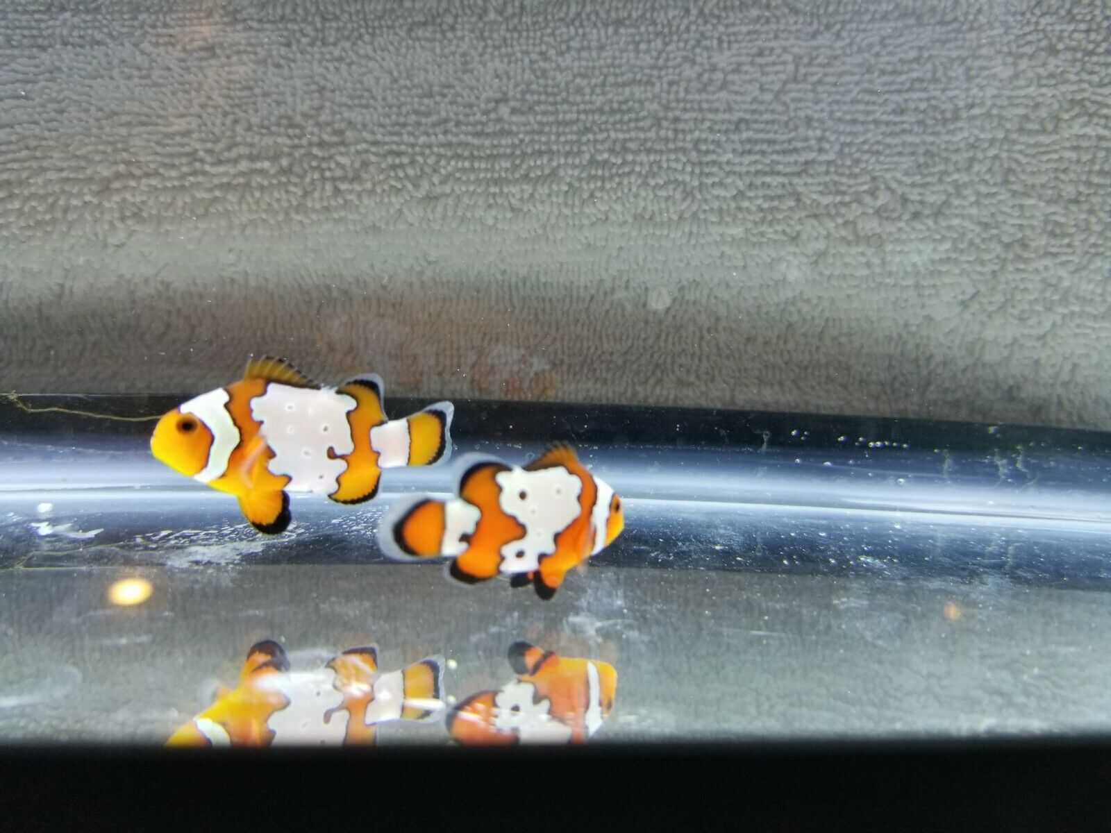 Fancy Snowflake Bullethole Clownfish Medium Pair 50 00 One Day Shipping Clown Fish Saltwater Fish Tanks Aquarium Fish