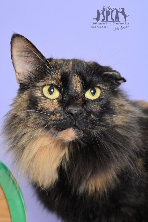 Adopt Ginger Four Paw Declaw In A Foster Home On Petfinder Cats And Kittens Animal Shelter Animals