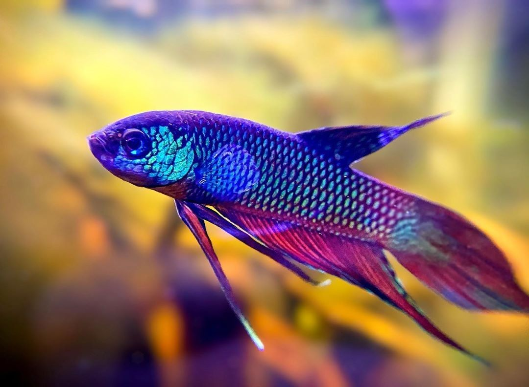 Wild Smaragdina Rainbow Betta Splendens Siamese Fighting Fish Betta Fish Types Betta Fish Beautiful Tropical Fish