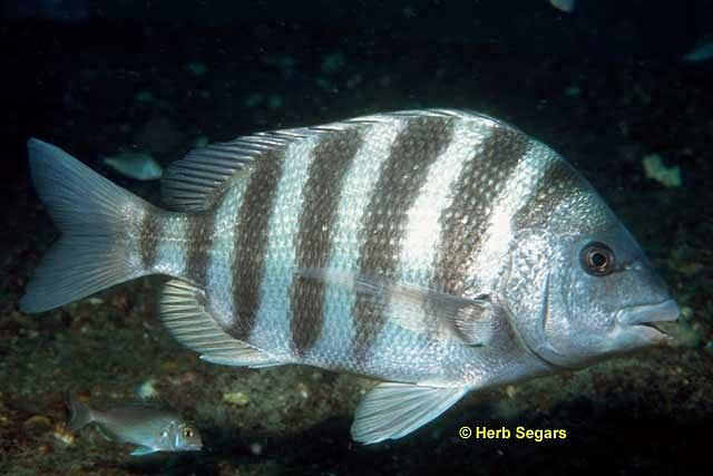 Sheepshead | Fish, Florida fish, Saltwater fishingSaltwater Sheepshead Bait
