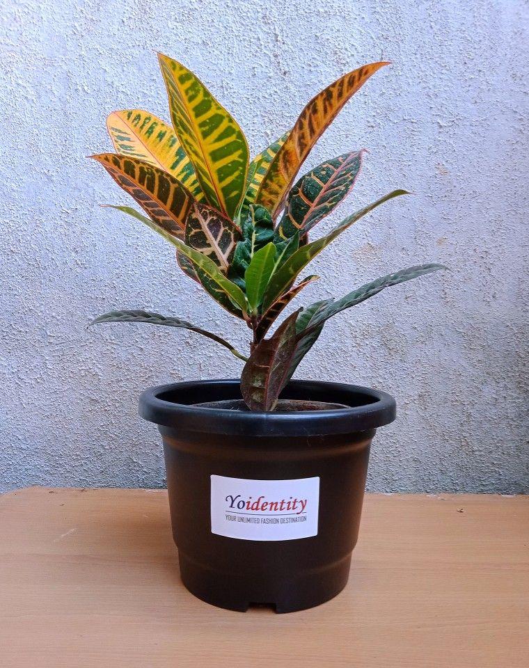 Croton Plant Online plant nursery, Buy plants, Plant nursery
