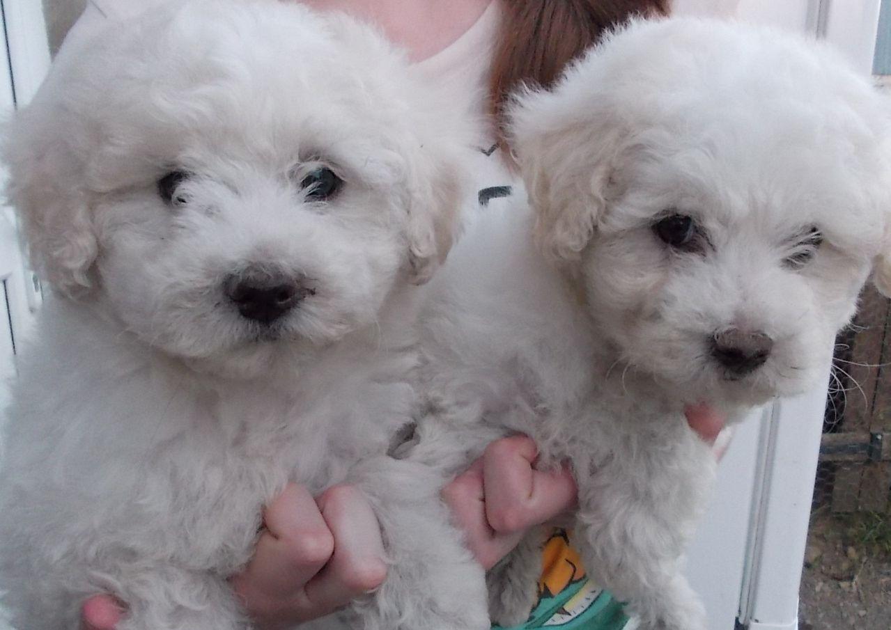 Bichon what they need bichon frise x puppies or sale dolgellau