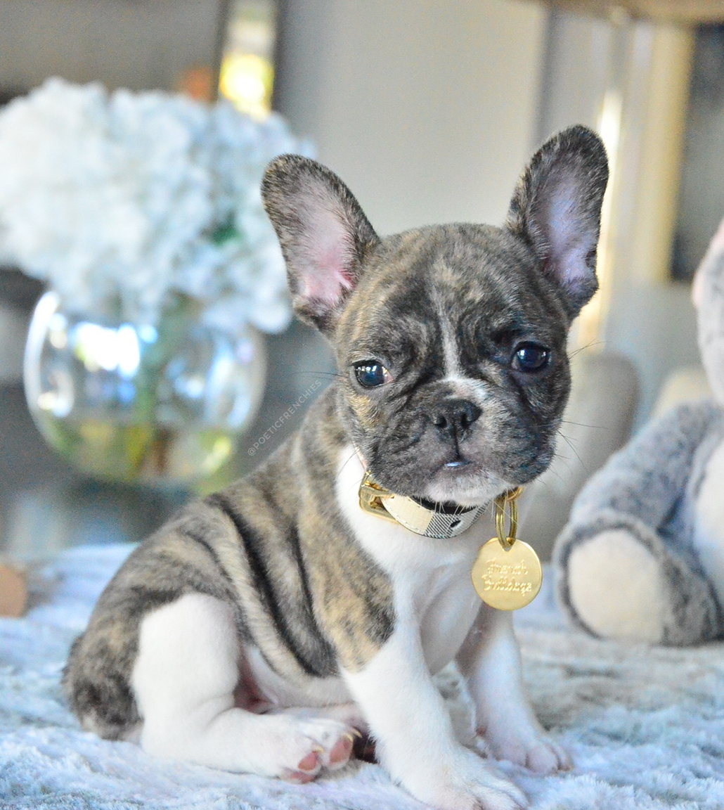 New Pictures Of Brea Www Poeticfrenchbulldogs Com French Bulldog Puppies F French Bulldog Puppies Blue French Bulldog Puppies Cute French Bulldog
