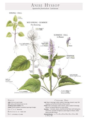 how to make anise hyssop tea