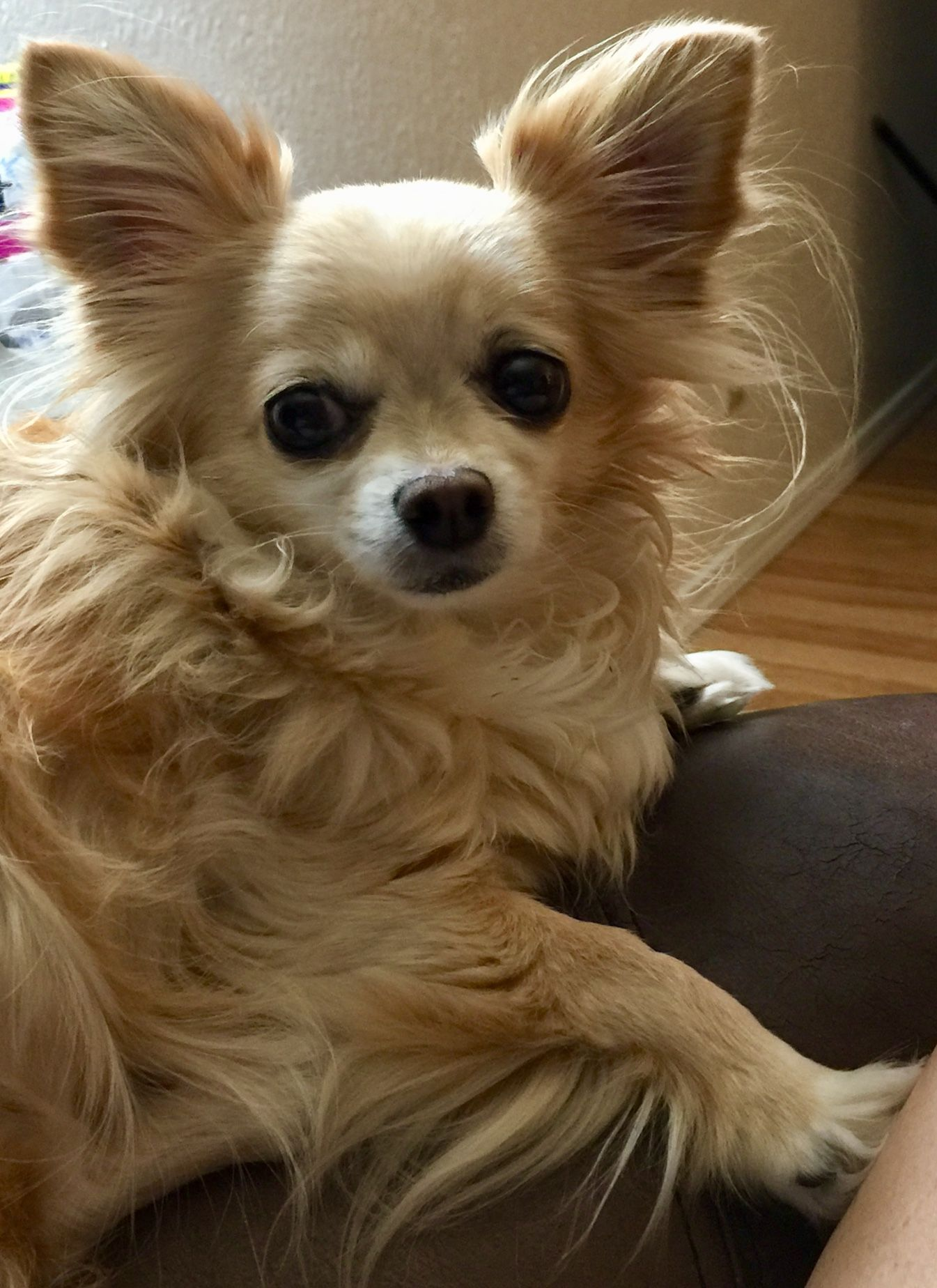 Charm Half Chihuahua Half Human Chihuahua Chiweenie