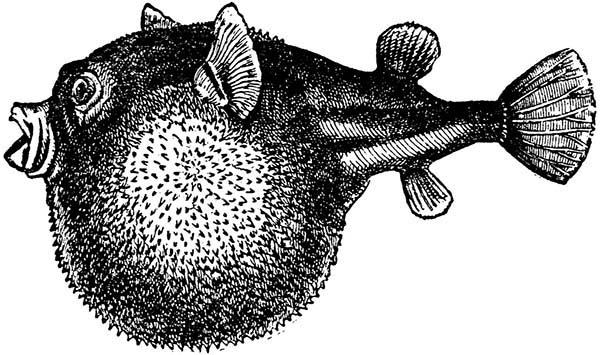 Blowfish Sharp Spine Coloring Pages Best Place To Color Coloring Pages Blowfish Color