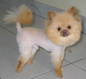 Pomeranian dog grooming how to do it yourself dvd video dog dog pomeranian dog grooming how to do it yourself dvd video solutioingenieria Gallery