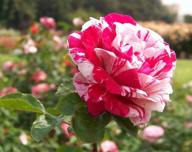 Candy Striped Rose Beautiful Rose Flowers Beautiful Flowers Rose
