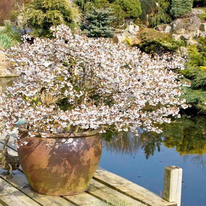 r sultat de recherche d 39 images pour cerisier fleurs nain du japon prunus incisa kojo no mai. Black Bedroom Furniture Sets. Home Design Ideas
