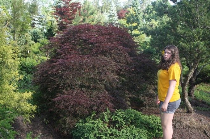 Acer Palmatum Dissectum Red Select Weeping Japanese Maple Amazing