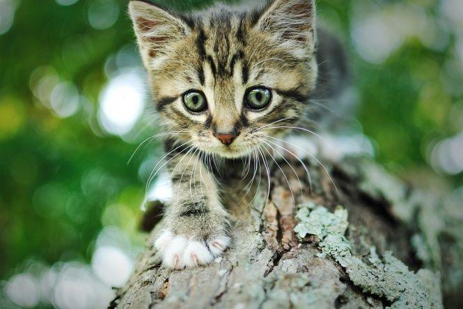Museau Gris Ecorce Chaton Chat Arbre Bokeh Raye Chaton Gris Animales Bebe Chat