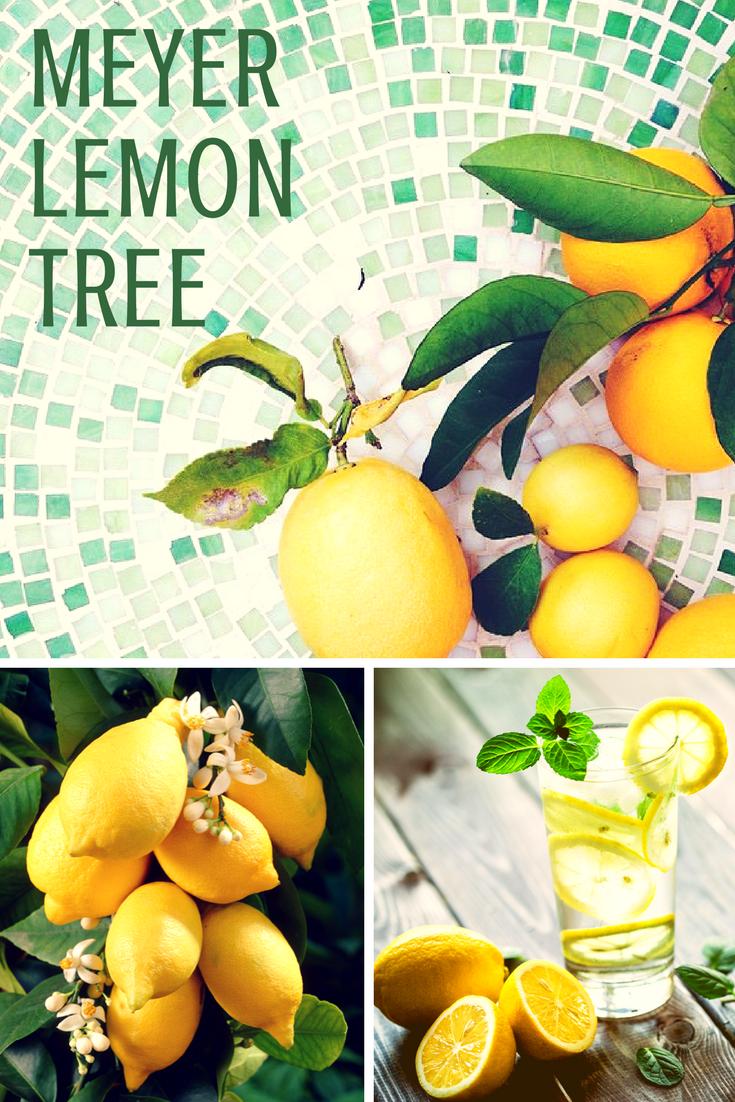 Meyer Lemon Tree Fruit Garden Meyer Lemon Tree Fast Growing Trees