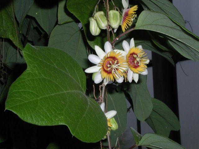 31fad2e3e Passiflora holosericea Fiore Della Passione
