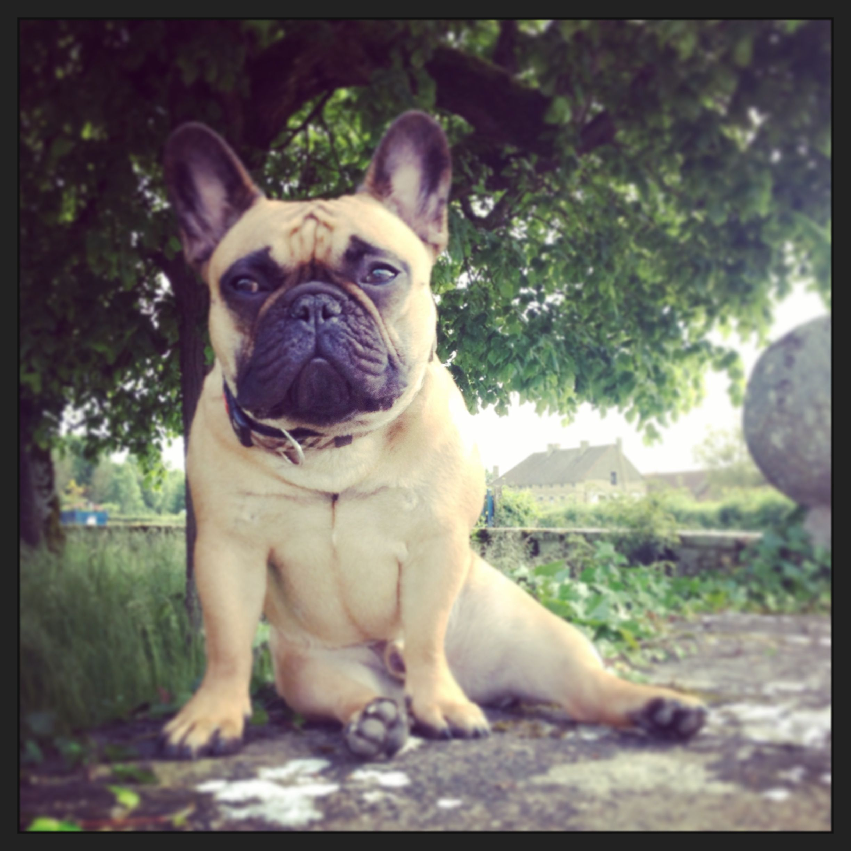 My French Bulldog Kamille Taking A Break Sully Burgundy France