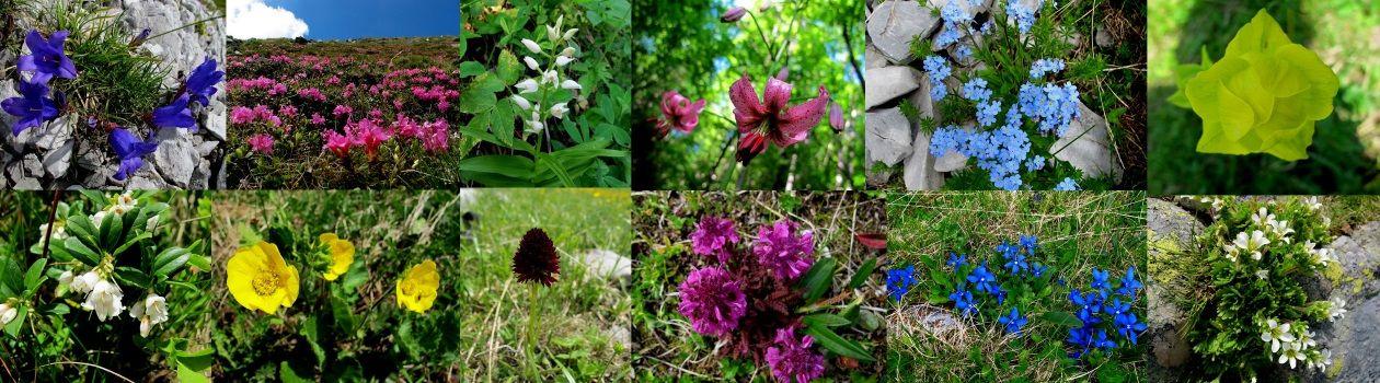 Florile Munţilor Carpaţi Flori Clasificate Pe Culori With Images