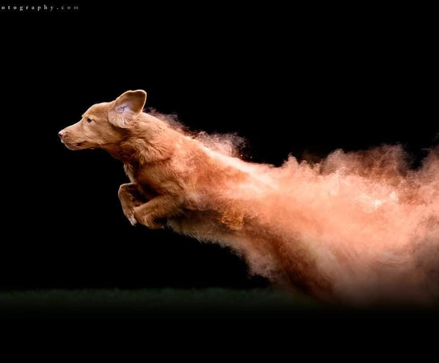 Photographer Tossed Some Colorful Powder On Dogs And Created Truly Magical Photos Dog Photos Nova Scotia Duck Tolling Retriever Dog Photography