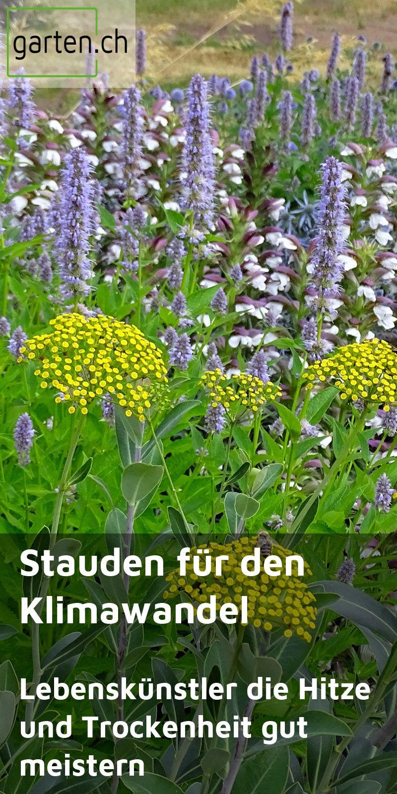 Gartengestaltung mit Stauden im Klimawandel: Spezialisten für Hitze und Trockenheit